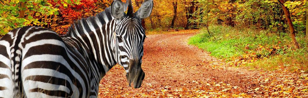zebre en automne suivezlezebre