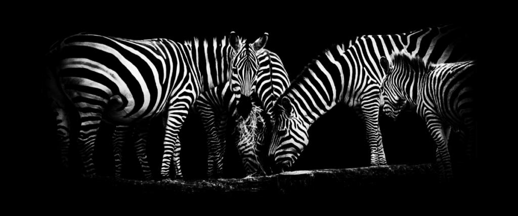 les zebres s'attirent entre eux
