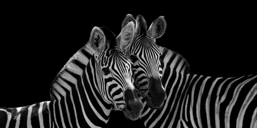 zebre couple fond noir